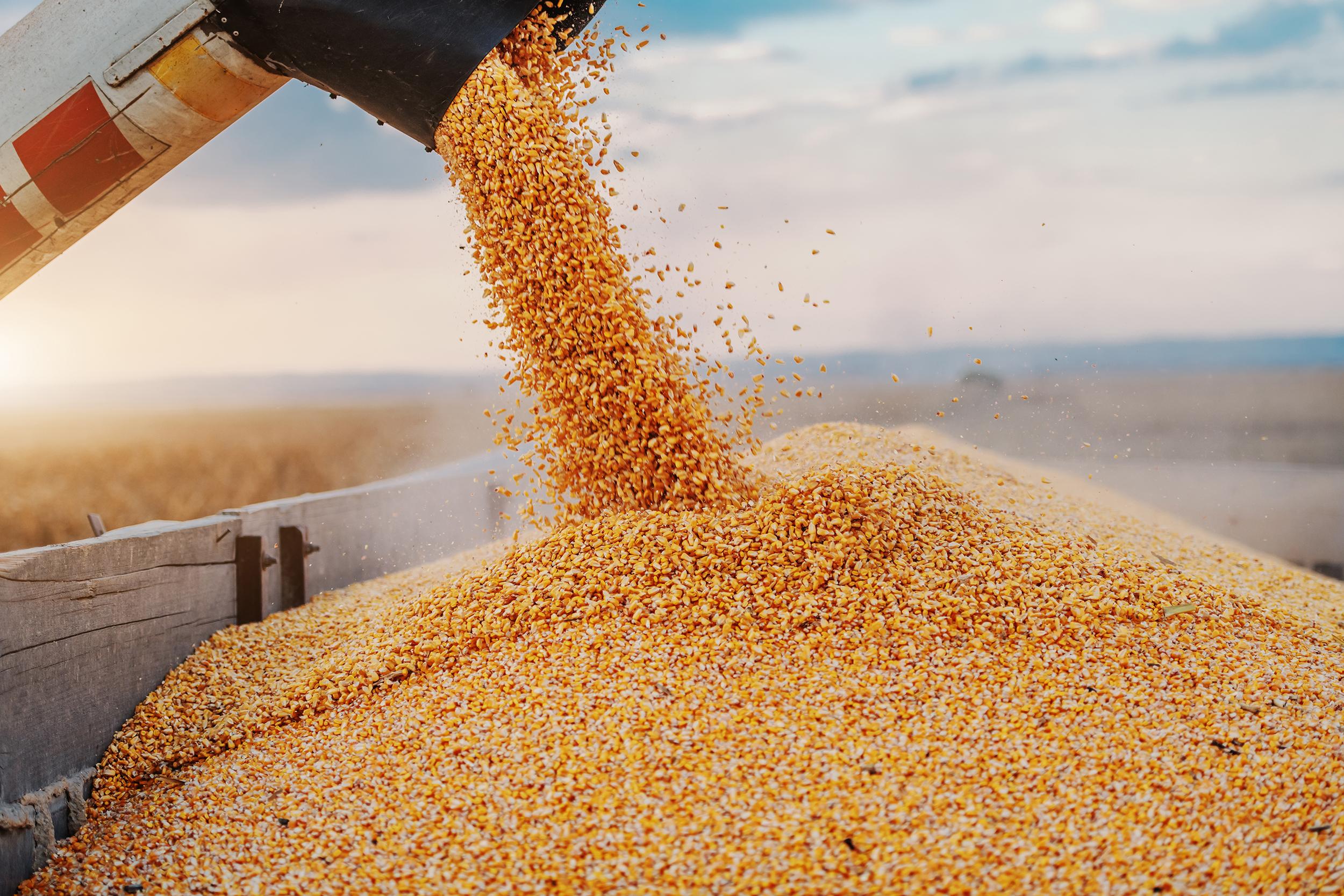 Korn wird auf einen Haufen gesammelt